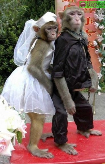 Nunta de maimute imagini haioase