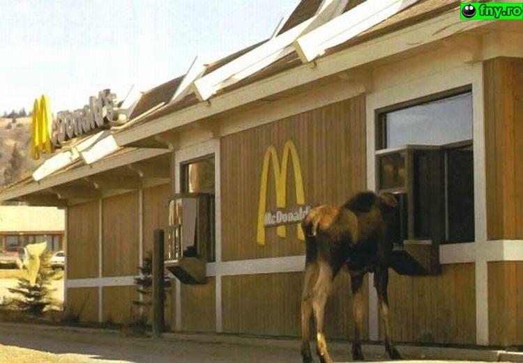 McDonalds, acum si pentru boi imagini haioase